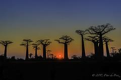 Avenue of Baobabs-Madagascar (Peter du Preez) Tags: avenue baobabs madagascar alley adansonia