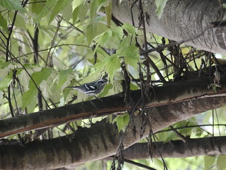 _1290180 black and white warbler (5)