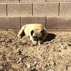 """I'ms KING 👑 of my dirt yard…patiently awaiting my land's scaping…"" PugsleyLuigi  #pug #dog #backyard #rocks #dirt #king #landscape #nograss #grass #waiting #zen #yard #lion #liondog #foodog #fun #sunday (TheZenOfPugsleyLuigi) Tags: pug dog backyard rocks dirt king landscape nograss grass waiting zen yard lion liondog foodog fun sunday"