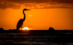 blue heron in gold (charlidino) Tags: beach bird clouds florida gold heron orange summer sunrise sunset