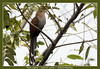 Squirrel cuckoo (Jan H. Boer, Nature photographer) Tags: piayacayana squirrelcuckoo eekhoornkoekoek birds cuckoos nature wildlife costarica turrucares mybackyard nikon d500 afsnikkor200500f56eedvr jan´sphotostream2017