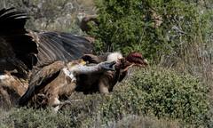Gyps fulvus (Manuel Orobitg) Tags: gypsfulvus buitre eurasianvulture griffonvulture buitreleonado bird wildlife nature naturaleza outdoors accipitridae