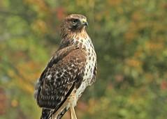 Red-shouldered Hawk, juvenile (hennessy.barb) Tags: hawk redshoulderedhawk bird birdofprey raptor hawkportrait nature wildlife backyardvisitor