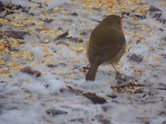 Rotkehlchen (Sophia-Fatima) Tags: mygarden meingarten naturgarten gardening rotkehlchen robin