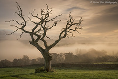 The Old Friend (.Brian Kerr Photography.) Tags: tree edenvalley mistymorning weather oldfriend greatsalkeld misty availablelight a7rii nature naturallandscape natural outdoor opoty outdoorphotography onlandscape landscapephotography landscape briankerrphotography briankerrphoto trees deadtree light shadows clouds skies sky mist grass field
