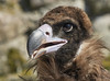 Sympathique ... (Emmanuel Cattier -) Tags: bird aigle oiseau volerieauxaigles kintzheim alsace france