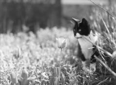 Cletus and the Tulip (wolffriend333) Tags: mamiya6451000s aristaedu 120 rollfilm blackandwhite ilfotecddx homedeveloped cat flower tulip hawkinscounty tennessee