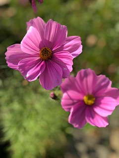 Flower Petal Flower Head Pink Color Nature Fragility Blooming Beauty In Nature Focus On Foreground Growth Pollen Osteospermum Freshness Cosmos Flower Plant Outdoors Day Close-up No People Zinnia