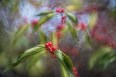 _DSC7010 (kymarto) Tags: bokeh bokehlicious bokehphotography dof depthoffield nature naturephotography beauty beautiful sony sonyphotography sonya7r2 oldlens vintagelens dallmeyeroctac80mmf15modified berries autumn red