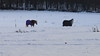 horses in the snow (marieckejanssen) Tags: boom paard horse cheval veld schnee snow