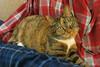 Gracie 20 November 2017 7113Ri 4x6 (edgarandron - Busy!) Tags: cat cats kitty kitties babby tabbies cute feline gracie patchedtabby