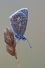 Common blue (john neal photography) Tags: commonblue butterfly butterflies macro dorset uk lankhambottom wildlife nature