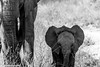 Kruger National Park, South Africa - Summer 2017-769.jpg (jbernstein899) Tags: africa krugernationalpark elephants babyelephants southafrica blackandwhite safari bush