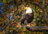 Regal Pose (dngovoni) Tags: virginia action autumn background bird eagle fall jamesriver raptor sunrise trees wildlife unitedstates us