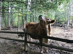 IMG_4742 (jcravenc) Tags: jcravenc smithhollowfarm october snapshots 2017 october2017 cow goat corn firepit llama chicken cock maze