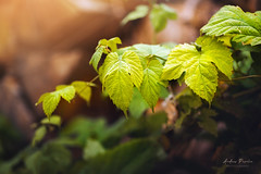 Grape leaves (Pásztor András) Tags: nature green wood stack grape leaves detailed moody rural calmness dslr nikon d700 hungary andras pasztor photography 2017