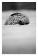 Sleeping in the Sea (cheffievrs) Tags: 1dxmarkii borderfx canon ef600mmf4lisii greyseal halichoerusgrypus hightide nature northsea slowshutter wildfree winter bw