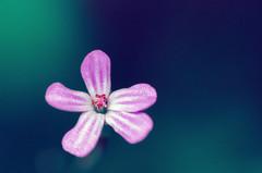 (ErrorByPixel) Tags: macro flower blue blur nature closeup pentax k5 pentaxk5 errorbypixel handheld smcpentaxdfamacro100mmf28wr smc pentaxd fa 100mm f28 wr 10028 pentaxart