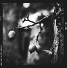Bronica SQ-A-041-010 (michal kusz) Tags: bronica sqa ilford delta 400 pro 800 zenzanon 80mm cokin macro filter ddx epson v600 apple tree fruit fruits shadow shadows deep developer monochrome medium monochromatic bw blackandwhite branches film frame format 120 6x6 squere sq