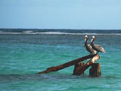 Pelicans (dbrothier) Tags: eos6d canon6d canonef100300mmf4556usm pelican gwada guadeloupe antilles bird oiseau gosier sainteanne seaside pelecanus 7dwf karukera 6d