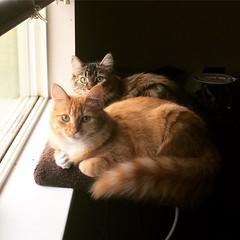 Window Watchers (LionessLeesha) Tags: lagata windowsill window kittens cats cat