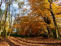Autumn orange (adairfarrar) Tags: london england unitedkingdom gb olympus omd em1 mk2 hampstead heath autumn
