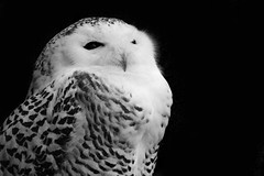 Owl (juliainzombieland) Tags: macro nature black white bw bird zoo tierpark hellabrunn schwarzweis natur wildlife owl eule