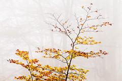 Autumnal Present (DavidFrutos) Tags: davidfrutosegea vizcaya canondslr 5dmarkii canon70200mm otoño autumn nature naturaleza landscape atmosphere ambiance paisaje fog foggy niebla haya hayas hayedo bosque forest water square colorful árbol tree beech becches leave leaves fall fallen fineart
