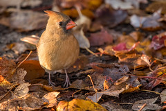Northern Cardinal, female (Ruthie Kansas) Tags: