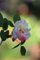 Bobbin' in the Bokeh (Pamela Jay) Tags: rosevariety chameleon therosecollectioninoneplant colourful bloom shrub fragrance flower flora pink white pretty beautiful nature garden favourite summer pamelajay nsw australia 2017 bokeh canon60d
