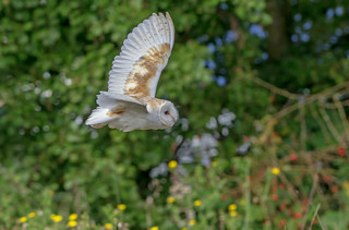 JWL0673  Barn Owl..