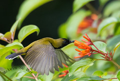 Olive-Backed Sunbird (melvhsc100) Tags: bird nature wildlife park gardenbythebay singapore greenery bokeh sunbird flower plant nikon7200 tamron150600mm singaporescenery flight tropical