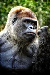 Silberrücken im Loro Parque... (D.Purkhart) Tags: loroparque tenerife gorilla portrait tierfotografie