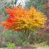 Japanese maple - near our house (Vicki's Nature) Tags: maple tree autumn fall leaves colorful yellow orange 1754 harmony georgia vickisnature canon s5