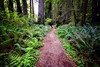 Path through Redwood State Park, California (` Toshio ') Tags: toshio california redwoodstatepark redwoodforest redwoods trees path ferns nature northerncalifornia usa america fujixe2 xe2 plants forest