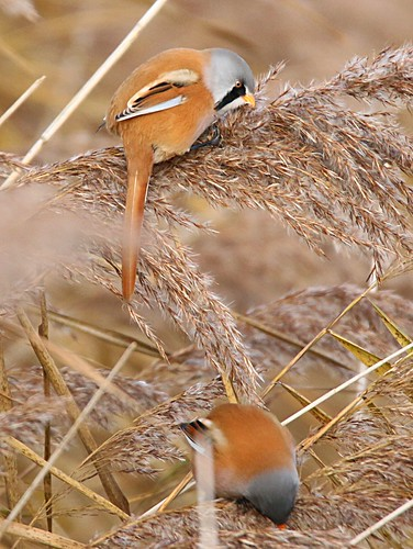 bearded tit/reedling