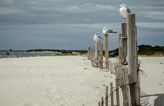 Gulls in a row (SKAC32) Tags: eastcoast newjersey usa islandbeachstatepark atlanticocean beach sand roost gulls birds