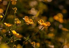 "..""some days.. (dawn.tranter) Tags: dawntranter buttercups dew morning sunlight backlit bokeh golden"