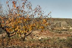 IMG_0876 Autumn in mountains - Vall de Gallinera (jaro-es) Tags: autumn otoño herbst nature natura natur naturemaster naturewatcher naturesfinest tree baum arbol eos70d españa spanien spain spanelsko canon