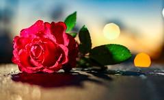 Rosa mojada (arapaci67) Tags: rosa roja red lluvia nature naturaleza 50mm canon