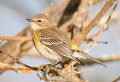 Butter Butt (tresed47) Tags: 2017 201711nov 20171129newjerseybirds birds canon7d content ebforsythenwr fall folder newjersey november peterscamera petersphotos places season takenby us warbler yellowrumpedwarbler