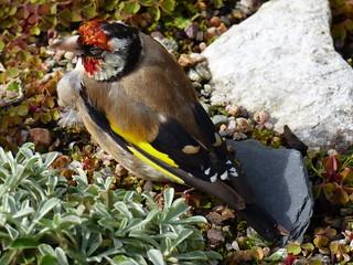 The garden:   A dazed goldfinch