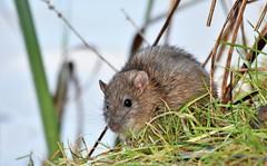 Shy. (pstone646) Tags: rat rodent nature wildlife animal fauna ashford kent lake closeup water bank mammal