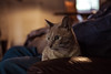(AWLancaster) Tags: portrait snuggle sleepy house indoors canon 7d lightoom animal domestic kitty