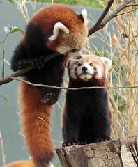 red panda Blijdorp BB2A5873 (j.a.kok) Tags: panda redpanda rodepanda kleinepanda animal blijdorp china asia azie mammal zoogdier dier blijdorpzoo