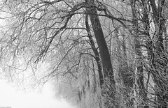 a frosty day (picturesbywalther) Tags: frosty frost hoarfrost raureif nebel leica schwarzweiss blackwithe bw sw bäume trees nature outdoor landscape winter kalt cold ice eis