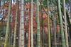 Bamboo Grove and Autumn Leaves (_TAKATEN_) Tags: sigma sd quattro foveon sdq bamboo autumn