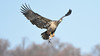 DSC_7945 (willy_chan88) Tags: bald eagles conowingo dam