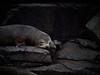 New Zealand Fur Seal - Bruny Island (Lesmacphotos) Tags: boat tasmania bruny island tours sea seal waterfall holiday rocks newzealandfurseal