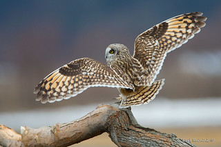 Owls have big wings